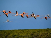 Flamingos on Turks and Caicos